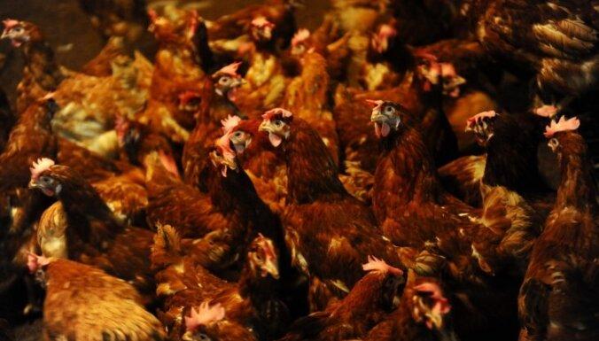 ФОТО: Balticovo показало, как содержатся куры на ферме