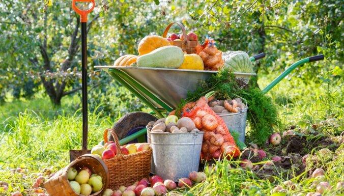 Dārza darbu kalendārs – septembris. Dārzeņu novākšanas un uzglabāšanas ieteikumi