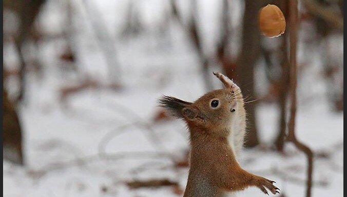 Aculiecinieka foto: Mežciema barotavā vāveres ļaujas sportiskām aktivitātēm