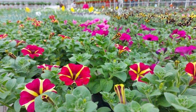 Foto: Vasarīgas vēsmas Bulduru Dārzkopības vidusskolas siltumnīcās
