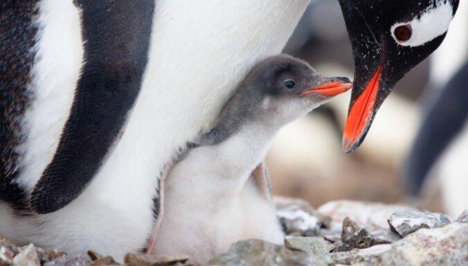 Pingvīnu izdotajām skaņām ir līdzība ar cilvēku valodu, atklāj pētījums