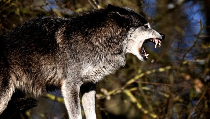 После закрытия охотничьего сезона в Латвии может остаться 200-300 волков
