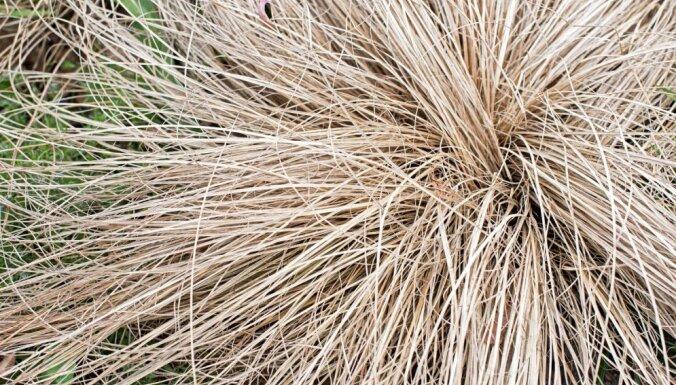 Griezt vai negriezt – graudzāļu frizēšana pirms ziemas