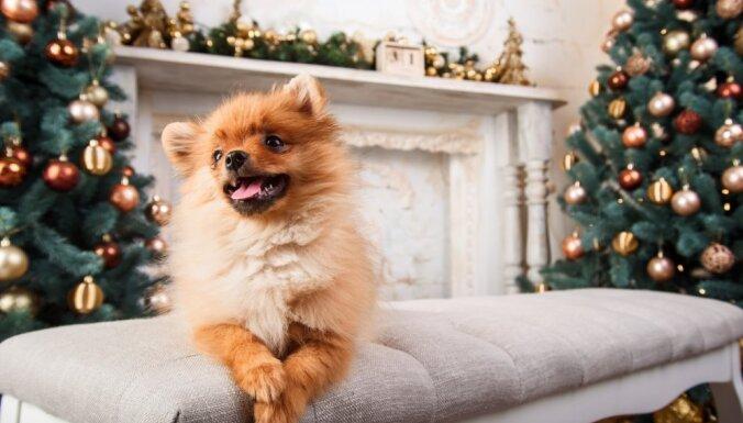 Pārēšanās draud arī dzīvniekam: veterinārārstes ieteikumi svētku svinēšanai kopā ar mīluli