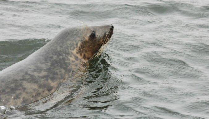 В Латвии проведут эксперимент, разрешать ли рыбакам отстреливать тюленей