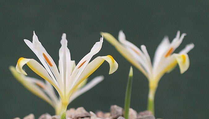 ФОТО. В Латвии цветет самая большая в мире коллекция крокусов