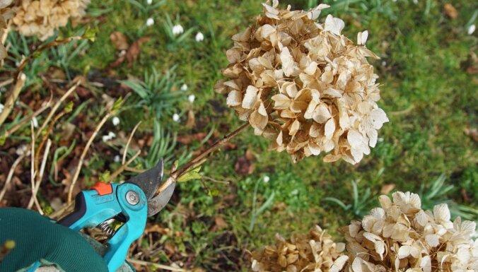 Kā pavasarī apgriezt hortenzijas