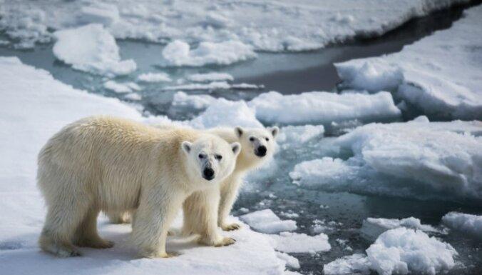 Спасен российский путешественник, двое суток на льдине отгонявший белых медведей