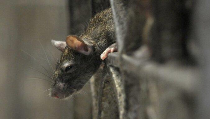 """Многоэтажку в Плявниеках """"оккупировали"""" крысы: Rīgas namu pārvaldnieks месяцами игнорирует проблему"""