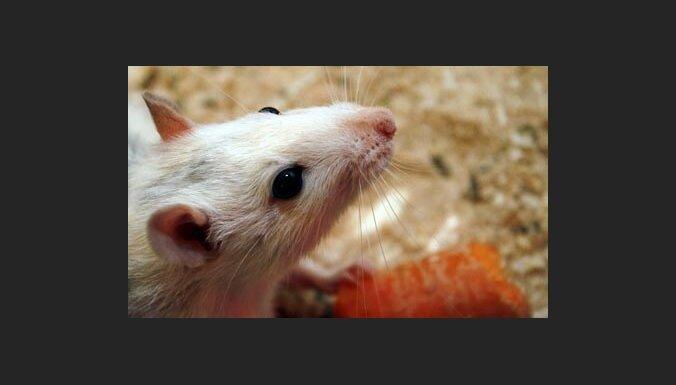 Исследование: крысы кусаются больнее морских свинок