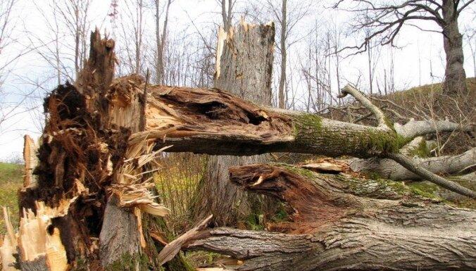 Mežstrādnieku nāvējoši traumē krītošs koks