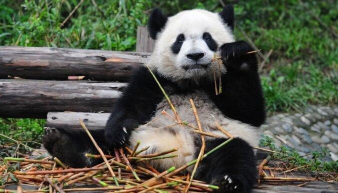 Nīderlandē pirmo reizi nācis pasaulē lielās pandas mazulis