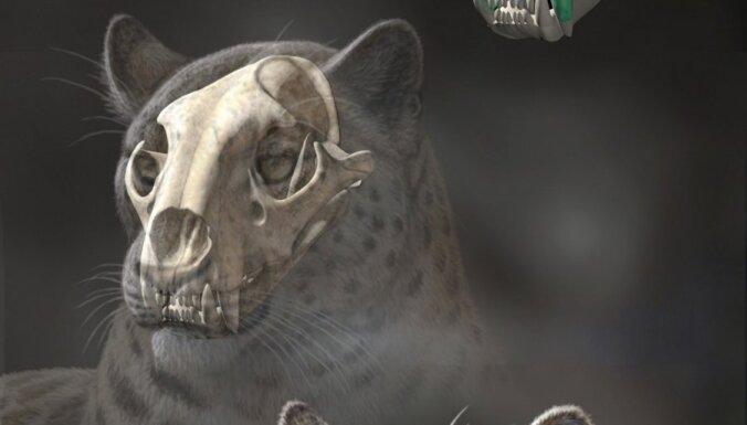 Zinātnieki atraduši lauvu un tīģeru senāko priekšteci