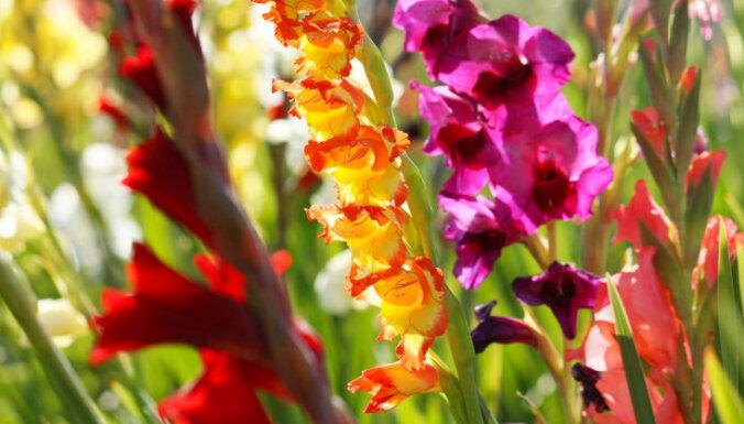 Dārza puķe ar vēsturisku simbolisko nozīmi – gladiola