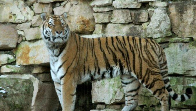 ФОТО: в Рижском зоопарке пополнение – амурский тигр Пан Янек