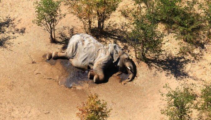 Ziloņu mīklainā masveida izmiršana Botsvānā: izskan versija par cēloni