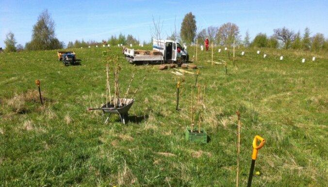Melnais valrieksts Latvijas augsnē – kā stādīt, kopt un lolot