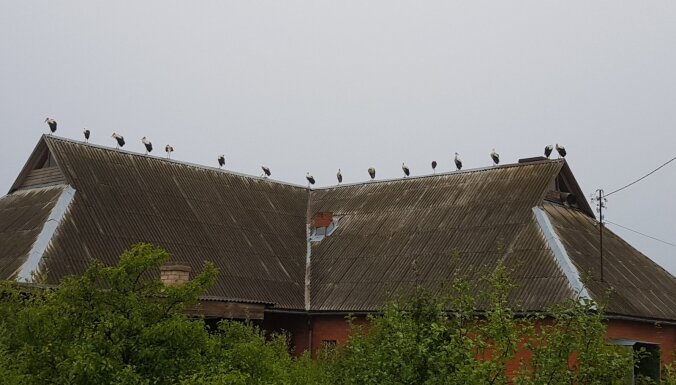 ФОТО: Необычная картина — 15 аистов собрались на крыше