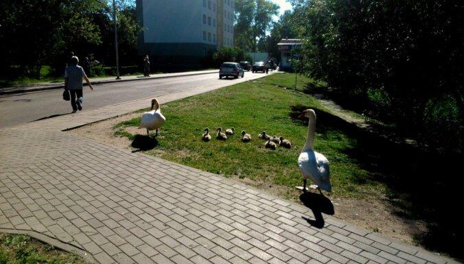 Gulbju pāris ved pastaigā mazuļus Liepājas ielās