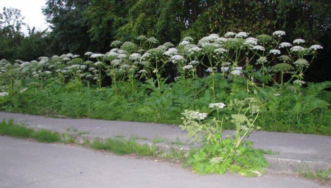 Latvāņu izplatību mēģinās ierobežot arī ar atbildības palielināšanu zemes īpašniekiem
