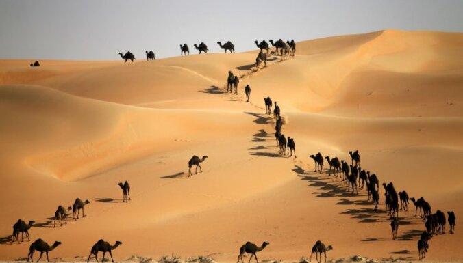 Тысячи верблюдов собрались на конкурс красоты