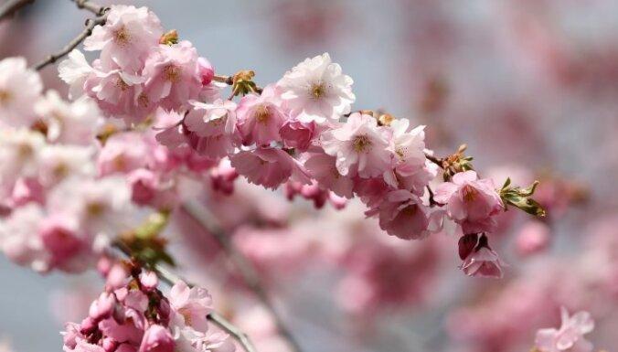 Japānā sākas ķiršu ziedēšanas sezona