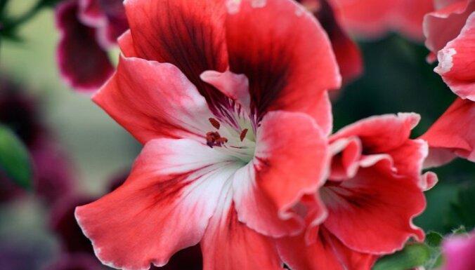 Foto: Botāniskajā dārzā zied smaržīgas un krāsainas pelargonijas