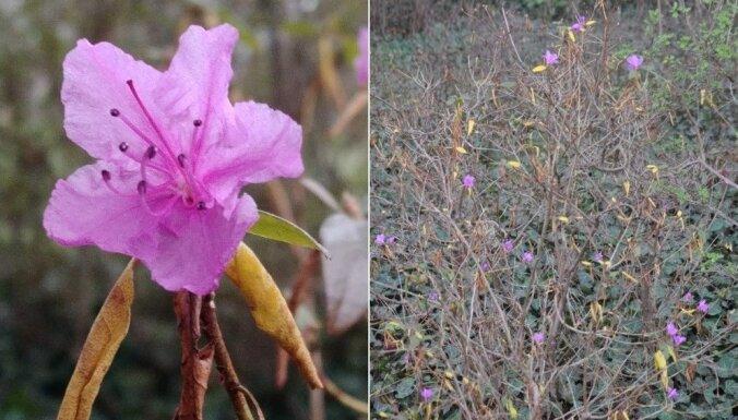 Nacionālajā botāniskajā dārzā novembra izskaņā uzziedējis neliels rododendrs