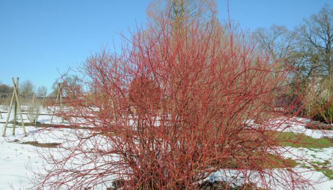 Пятна на снегу: 10 лучших растений для яркого зимнего сада
