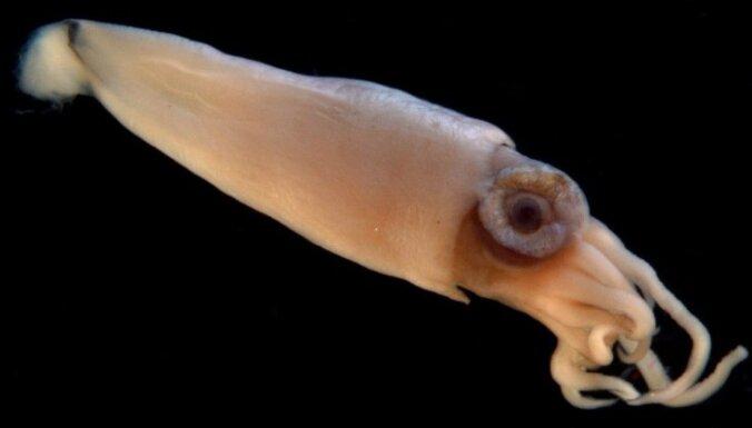 Найдено объяснение огромным глазам гигантских кальмаров
