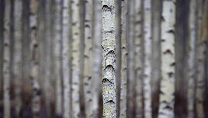 Uzņēmums Valkas novadā iestāda 32 000 bērzu CO2 izmešu mazināšanai