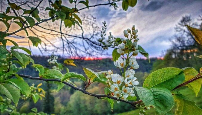 Siguldā atklāts jauns pastaigu maršruts – 'Zied ievas Gaujas senielejā'