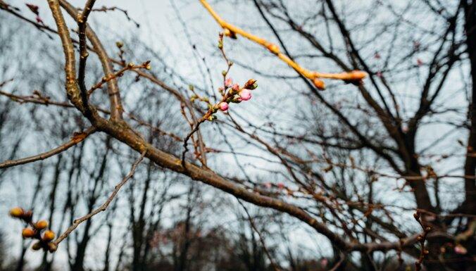 Sakuru ziedēšana ziemā: vai pavasarī koki plauks mazāk krāšņi