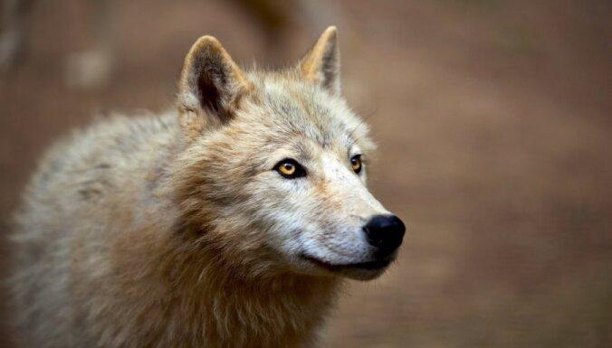 Волк в доме американской спортсменки в Сочи— монтаж