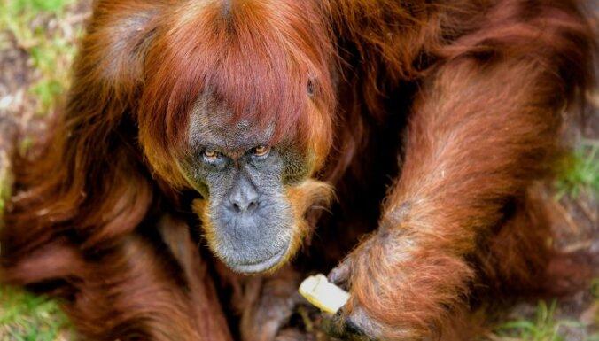 60 gadus vecā Puana atzīta par pasaulē vecāko orangutanu