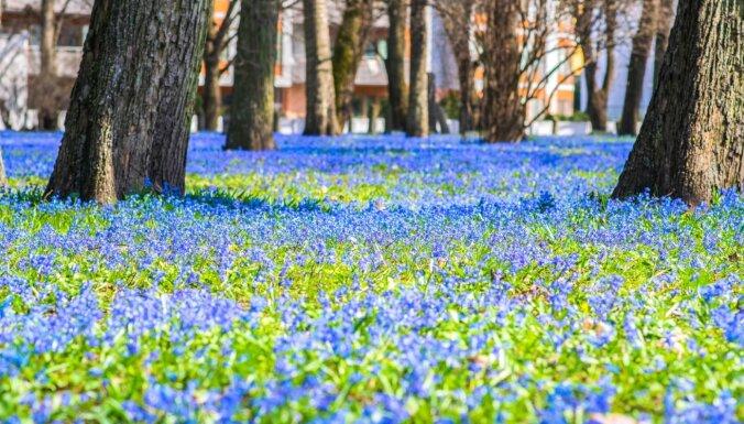 ФОТО. Весна идет! Большое кладбище в Риге превратилось в настоящий синий ковер из цветов
