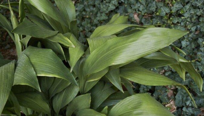 Neprasa daudz rūpju: mājas svētības audzēšana un izplatītākās problēmas