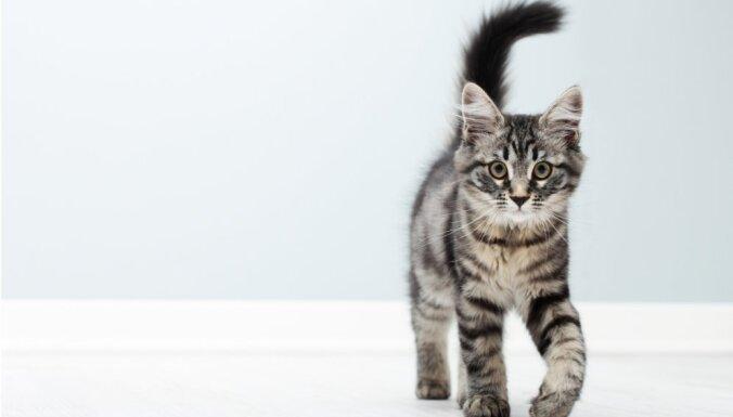 10 aizraujoši un mazzināmi fakti par kaķiem