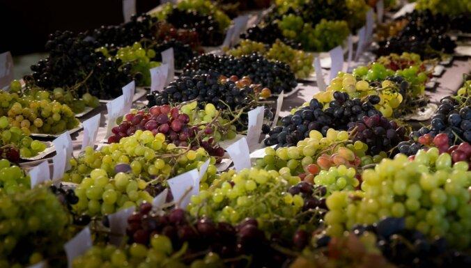 11. septembrī Bauskas pilī notiks tradicionālā vīnogu izstāde