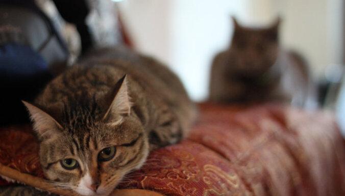 Kaķu šķirne: mančkins