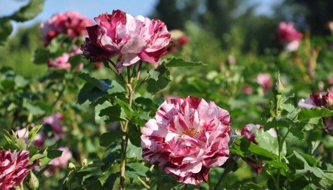 ФОТО. В Национальном ботаническом саду в Саласпилсе зацвели розы