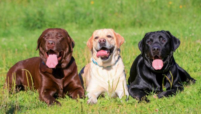 Гипермускулистые собаки из пробирки: генная технология для создания суперлюдей