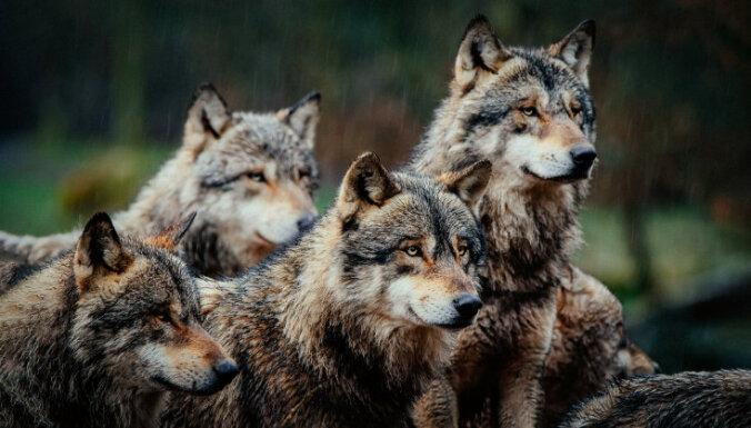 'Delfi plus': Nenotveramais Henkuzens, aizbēgušie vilki un dziļurbumi