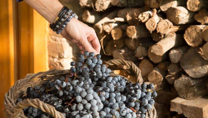 Vairāk nekā 100 šķirnes vienkopus – aicina svinēt vīnogu svētkus Bauskā
