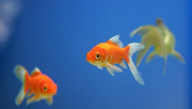 zelta zivtiņas, zivis, slepkava, zivju slepkavība