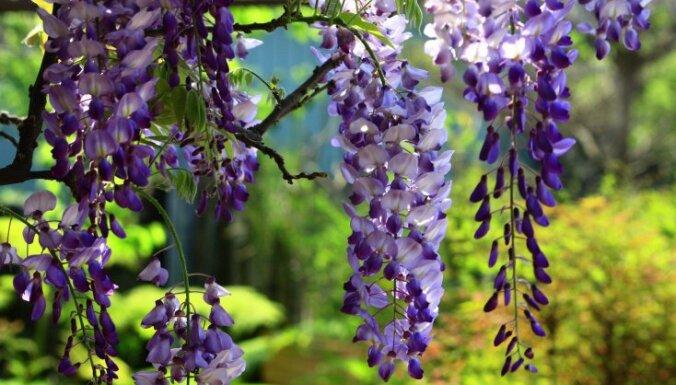 Все о цветах. Глициния, посадка и уход в открытом грунте