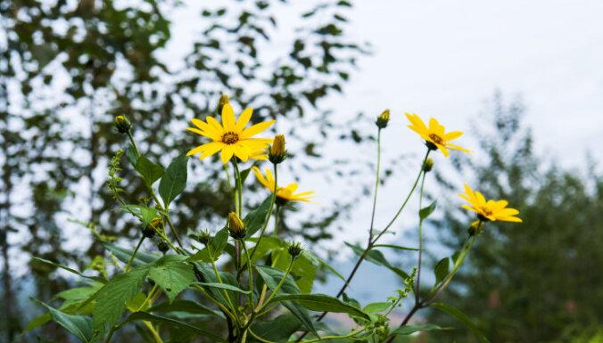 Rudens puķe un dārzenis topinambūrs. Kad ir īstais laiks novākt ražu?