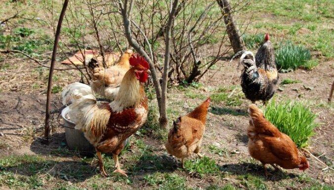 Durbes novadā nozagtas 35 vistas; Liepājā sadeg četri auto
