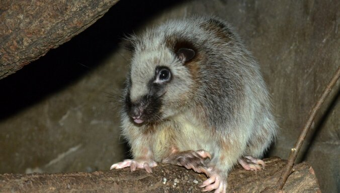 Rīgas Zooloģiskais dārzs par gada dzīvnieku izvēlējies Filipīnu mākoņžurku