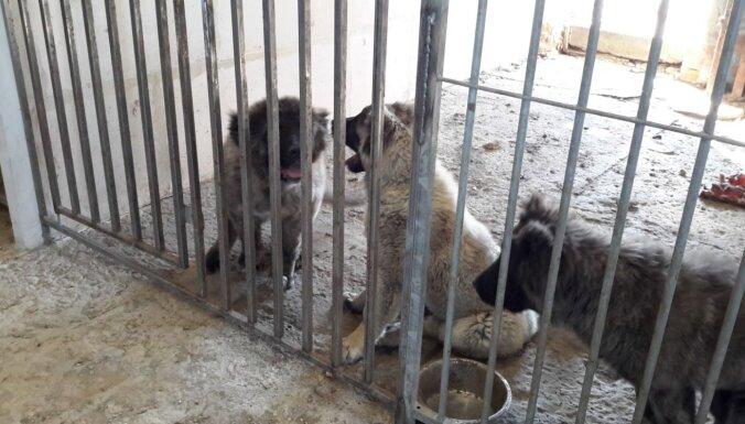 ФОТО. Инспекторы PVD обнаружили нелегальный питомник кавказских овчарок